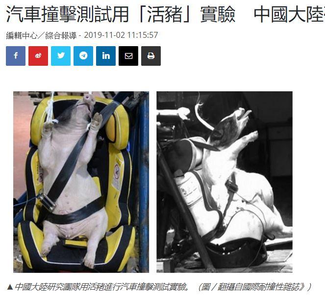 シートベルトで固定された子ブタ(画像は『NOWnews 2019年11月2日付「汽車撞擊測試用「活豬」實驗 中國大陸研究團隊挨轟殘忍」(圖/翻攝自國際耐撞性雜誌)』のスクリーンショット)