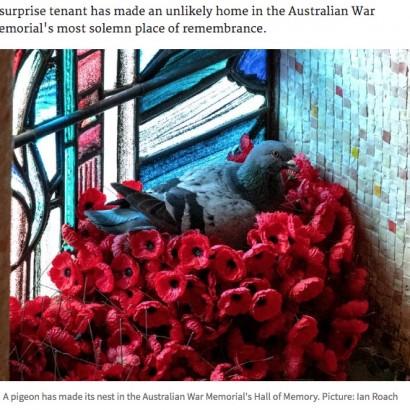 """【海外発!Breaking News】戦没者追悼のために捧げられたポピーの花が盗まれるも""""犯人""""は巣作り中の鳩(豪)"""