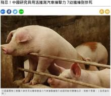 【海外発!Breaking News】車の衝突試験に生きた子ブタを使う中国 米動物保護団体が「野蛮」と猛批判