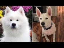 【海外発!Breaking News】長毛種の犬をトリマーが丸刈りに 混乱する飼い主「うちの子じゃない」(米)<動画あり>
