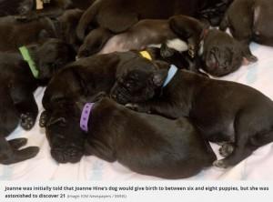母親の黒と白のボディに、父親譲りの顔を持つ子犬たち(画像は『Daily Record 2019年12月4日付「Dog gives birth to staggering litter of 21 puppies in 'world record'」(Image: IOM Newspapers / SWNS)』のスクリーンショット)