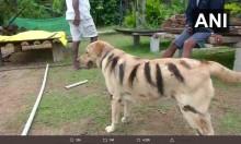 【海外発!Breaking News】作物を荒らす猿除けのため、飼い犬をトラ柄にペイントした農家(印)