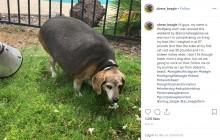 体重40キロ超のビーグル犬、半年で28キロまで減量(米)<動画あり>