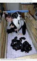 【海外発!Breaking News】自然分娩で21匹の赤ちゃんを出産した犬 世界記録か(マン島)