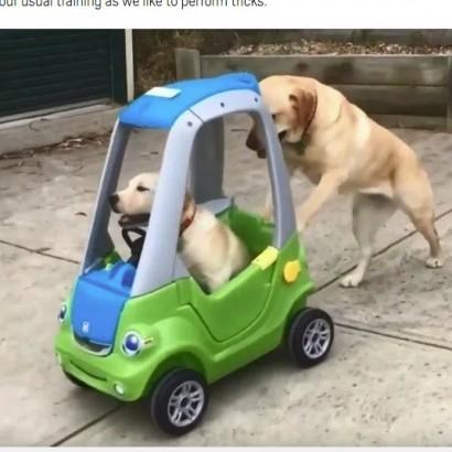 【海外発!Breaking News】きょうだいが乗るおもちゃの車を押すラブラドール犬(豪)<動画あり>