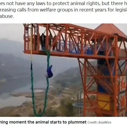 【海外発!Breaking News】豚をバンジージャンプに使った中国のテーマパークに非難殺到