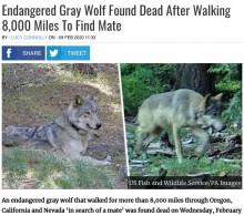 【海外発!Breaking News】絶滅危惧種のハイイロオオカミ、仲間を探して1万2千キロ歩き続けた後に死ぬ(米)