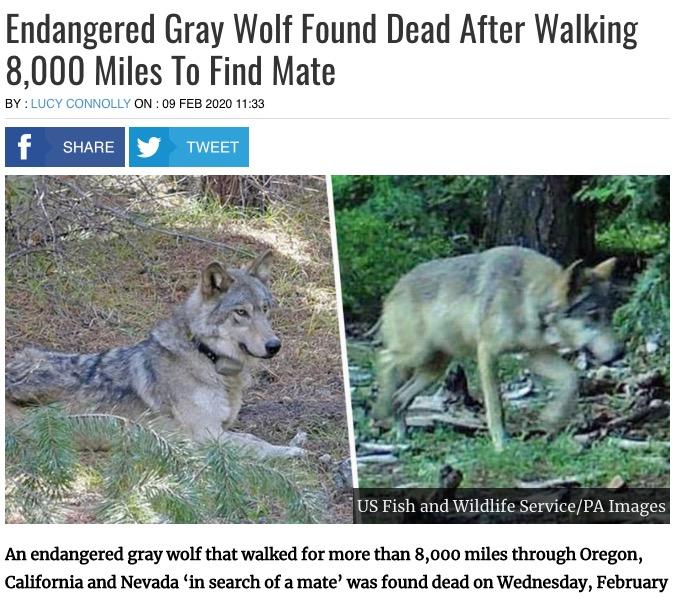 絶滅に瀕しているハイイロオオカミ(画像は『UNILAD 2020年2月9日付「Endangered Gray Wolf Found Dead After Walking 8,000 Miles To Find Mate」(US Fish and Wildlife Service/PA Images)』のスクリーンショット)