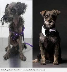 リトル・オーガスティン(Little Augustin)のビフォー・アフター(画像は『Metro 2020年2月3日付「Pictures of dogs before and after being rescued shows the power of a little love」(Picture: David Fernández/Rafael Quintero Photo)』のスクリーンショット)