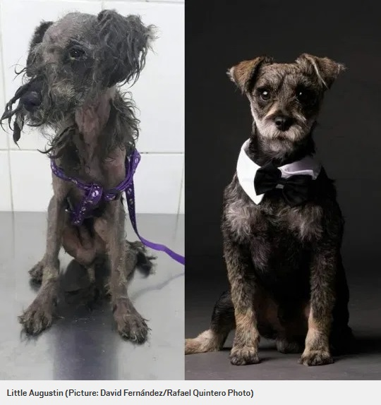 リトル・オーガスティン(Little Augustin)のビフォー・アフター(画像は『Metro 2020年2月3日付「Pictures of dogs before and after being rescued shows the power of a little love」(Picture: David Fernández/Rafael Quintero Photo)』のスクリーンショット)