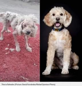 サルバドール(Salvador)のビフォー・アフター(画像は『Metro 2020年2月3日付「Pictures of dogs before and after being rescued shows the power of a little love」(Picture: David Fernández/Rafael Quintero Photo)』のスクリーンショット)
