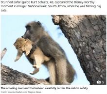 【海外発!Breaking News】まるで『ライオン・キング』のワンシーン ライオンの赤ちゃんを抱く野生ヒヒ(南ア)<動画あり>