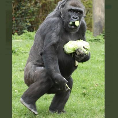 【海外発!Breaking News】餌を独り占めする動物園のゴリラの姿がスーパーで買い占めする人間のよう(英)