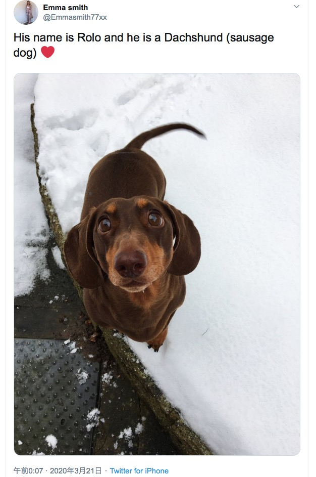 尻尾を振りすぎて捻挫したダックスフント(画像は『Emma smith 2020年3月21日付Twitter「His name is Rolo and he is a Dachshund (sausage dog)」』のスクリーンショット)
