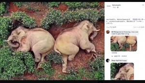 【海外発!Breaking News】農村に侵入した象、民家の醸造酒を飲んで泥酔し茶畑で爆睡か(中国)