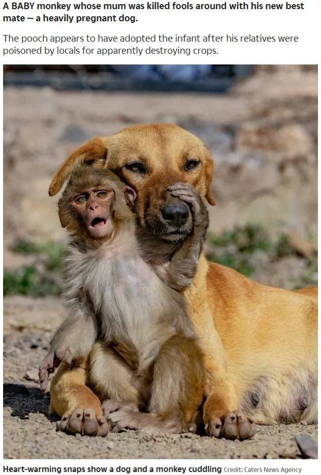 妊娠中の犬を母親のように慕う子猿(画像は『The Sun 2020年3月18日付「BEAST MATES Heart-warming snaps show heavily pregnant dog hugging orphaned baby monkey」(Credit: Caters News Agency)』のスクリーンショット)