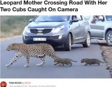 【海外発!Breaking News】ヒョウの子供2頭を連れて道路を渡る母親 南アフリカの国立公園で<動画あり>
