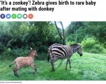 【海外発!Breaking News】脚だけ縞模様 シマウマとロバの子「ゾンキー」が発見される(ケニア)