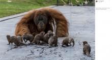 【海外発!Breaking News】カワウソと鬼ごっこやかくれんぼで遊ぶオランウータン一家(ベルギー)