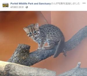 【海外発!Breaking News】ネズミより小さい 世界一小さなネコの赤ちゃんが誕生! 愛らしい姿に飼育員もメロメロ(英)<動画あり>