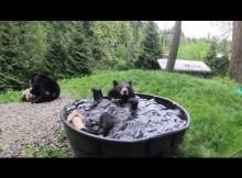 【海外発!Breaking News】「まるで大きな子供!」体重180キロ超のクマが水風呂を満喫(米)<動画あり>