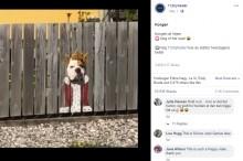【海外発!Breaking News】フェンスの穴から外を眺めるブルドッグ 飼い主の工夫で人気者に(デンマーク)<動画あり>