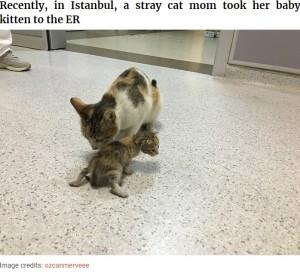 【海外発!Breaking News】病気の我が子を人間の病院へ運んだ勇敢な母ネコ 病院スタッフの対応にも心温まる(トルコ)