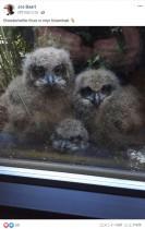 【海外発!Breaking News】窓越しに人間と一緒にテレビを見るフクロウのヒナ3羽(ベルギー)<動画あり>