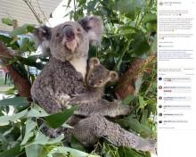 【海外発!Breaking News】赤ちゃんコアラ、母の日直前に袋から初めて顔を出す(豪)<動画あり>