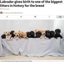 【海外発!Breaking News】14匹の赤ちゃんが誕生したラブラドール・レトリバー イギリスの国内記録まであと1匹