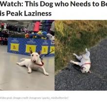引きずられるまま散歩する犬「家でまったりが一番好き」「飼い主とずっと一緒」で幸せ膨らむ日々(伊)<動画あり>