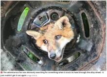 【海外発!Breaking News】好奇心旺盛のキツネ、タイヤから頭が抜けなくなるも無事救助(英)