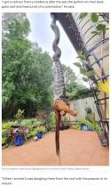 民家の庭で2メートル超のヘビがポッサムを丸飲み!(豪)