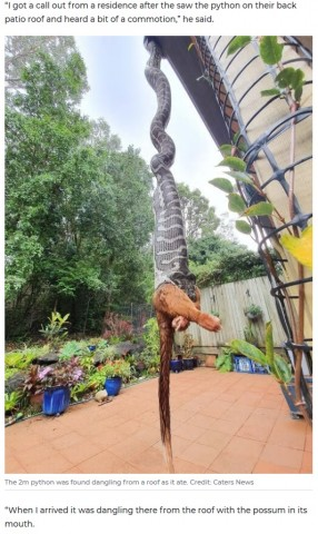 【海外発!Breaking News】民家の庭で2メートル超のヘビがポッサムを丸飲み!(豪)