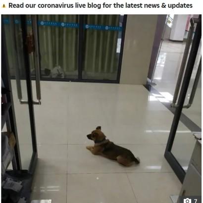 """【海外発!Breaking News】中国の""""忠犬ハチ公"""" 亡き飼い主を病院内で3か月も待ち続ける"""