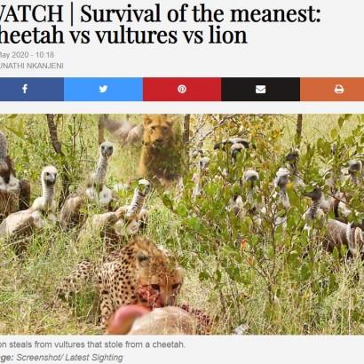 【海外発!Breaking News】これぞ弱肉強食 チーターの獲物を奪ったハゲタカ、ライオンに横取りされる(南ア)