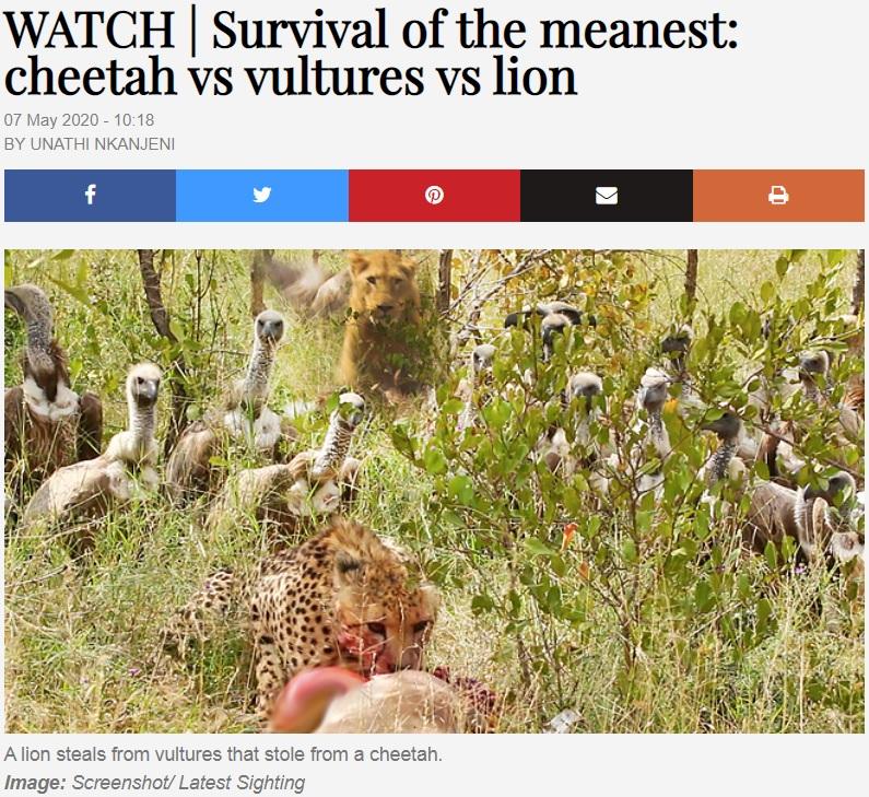 チーターの獲物を狙うハゲタカ、後ろにはライオンが(画像は『TimesLIVE 2020年5月7日付「WATCH | Survival of the meanest: cheetah vs vultures vs lion」』のスクリーンショット)