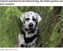 【海外発!Breaking News】白斑のラブラドール・レトリバー 1年前から黒と白のまだら模様に(フィンランド)