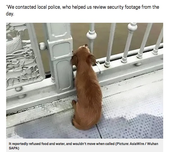 橋から川面を眺める犬(画像は『Metro 2020年6月9日付「Grieving dog waits on bridge for owner after they jumped into river」(Picture: AsiaWire / Wuhan SAPA)』のスクリーンショット)