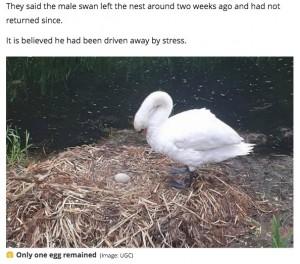 【海外発!Breaking News】少年らに卵を潰された白鳥、傷心のあまり巣の中で息絶える(英)