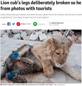 故意に骨折させられたライオン(画像は『Daily Star 2020年6月10日付「Lion cub's legs deliberately broken so he can't run away from photos with tourists」(Image: karendallakyan)』のスクリーンショット)