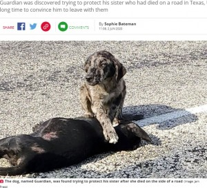 亡ききょうだいのそばから離れなかったガーディアン(画像は『Daily Star 2020年6月2日付「Loyal dog refuses to leave sister's body after she dies on side of road」(Image: Jam Press)』のスクリーンショット)