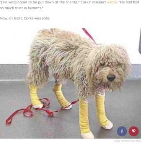 足の手当てを受けたコークス(画像は『The Dodo 2020年6月15日付「Dog With A Sad Past Is So Happy He Got A Second Chance」(Dogs Without Borders)』のスクリーンショット)