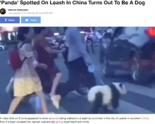 【海外発!Breaking News】パンダにリードをつけて散歩? 犬の毛を染めた飼い主に非難殺到(中国)<動画あり>