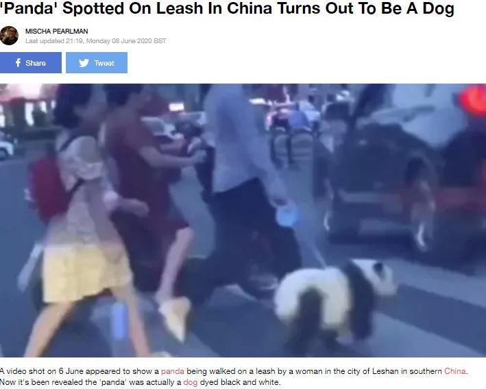 飼い主と一緒に横断歩道を渡るパンダ風の犬(画像は『LADbible 2020年6月8日付「'Panda' Spotted On Leash In China Turns Out To Be A Dog」(Credit: Newsflare)』のスクリーンショット)