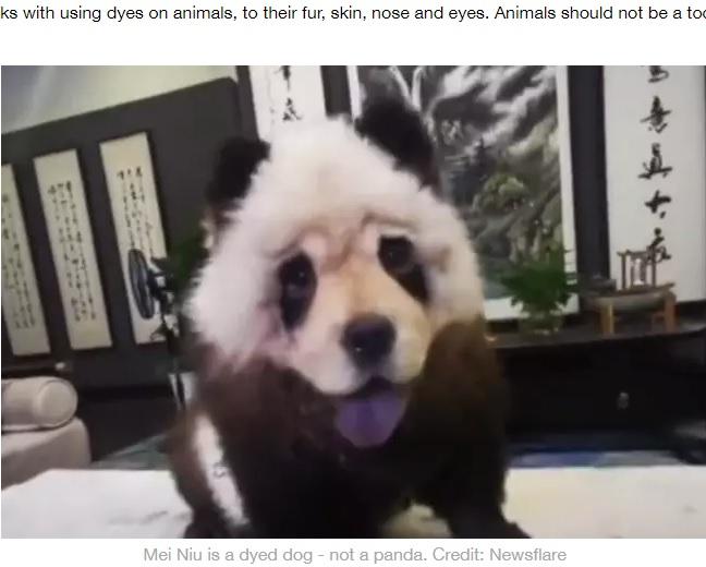 飼い主によってパンダ風に染められた犬(画像は『LADbible 2020年6月8日付「'Panda' Spotted On Leash In China Turns Out To Be A Dog」(Credit: Newsflare)』のスクリーンショット)