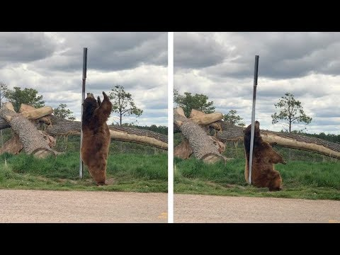 クマがポールダンス!?(画像は『Caters Clips 2020年6月5日公開 YouTube「Bear Caught Dancing On Pole」』のサムネイル)