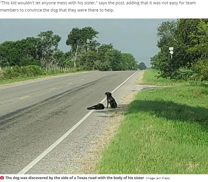 道路脇できょうだいの亡骸に寄り添う犬(画像は『Daily Star 2020年6月2日付「Loyal dog refuses to leave sister's body after she dies on side of road」(Image: Jam Press)』のスクリーンショット)
