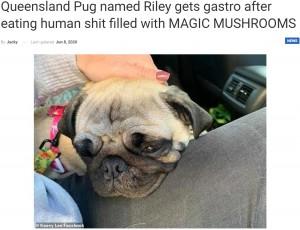 【海外発!Breaking News】幻覚キノコを食べた人間の便を口にした犬、胃腸炎で一晩中苦しむ(豪)