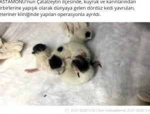 身体が結合していた手術前の四つ子(画像は『Haberler.com 2020年7月21日付「Yapışık dördüz kediler, operasyonla birbirinden ayrıldı」』のスクリーンショット)